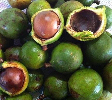 open green macadamia nut